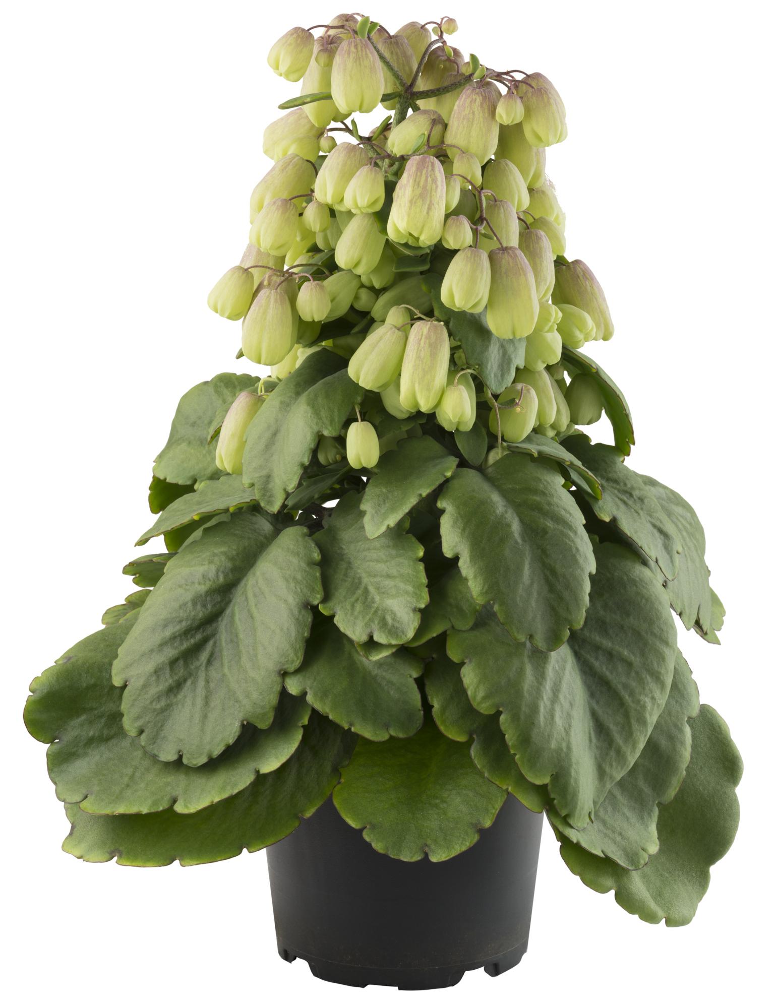 Kalanchoe Pinnata planta