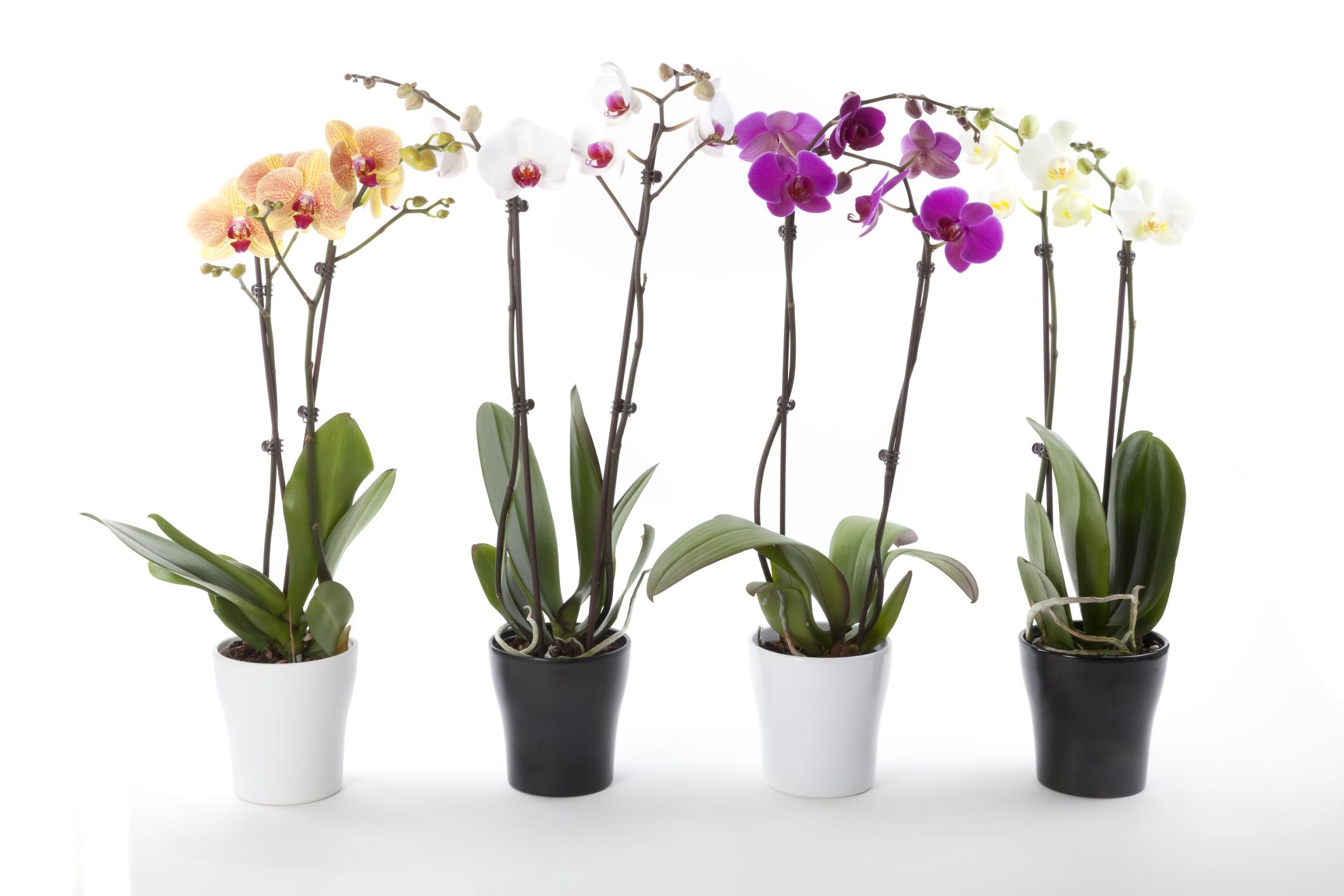 cuidados que necesitan las orquídeas