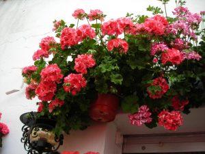flores para las macetas de tu jardín en verano