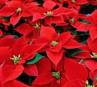 plantas y flores para regalar en Navidad