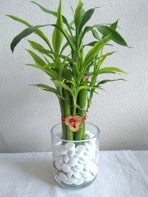 bambu-de-la-suerte-en-arreglo-feng-shui-10-varas-de-bambu-D_NQ_NP_645590-MPE30289554737_052019-Q