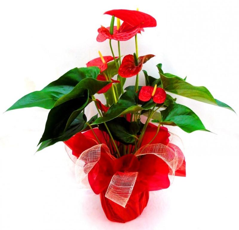 Planta anthurium Mom