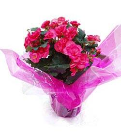 Planta Begonia