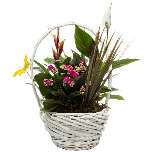 Cesta de plantas Luciana