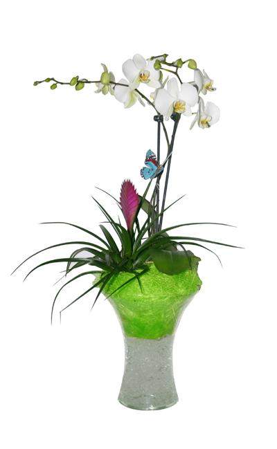 Orquídea Italia