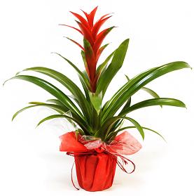 Planta Guzmania Mabel