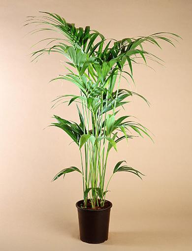 Planta Howea Forsteriana
