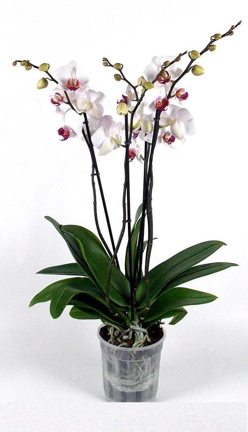 Orquidea Iris
