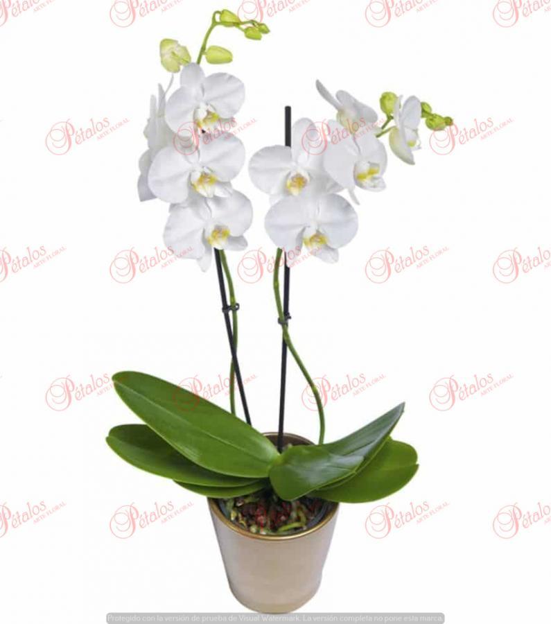 Orquídea Lena