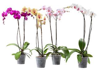 Orquídeas promoción YOU