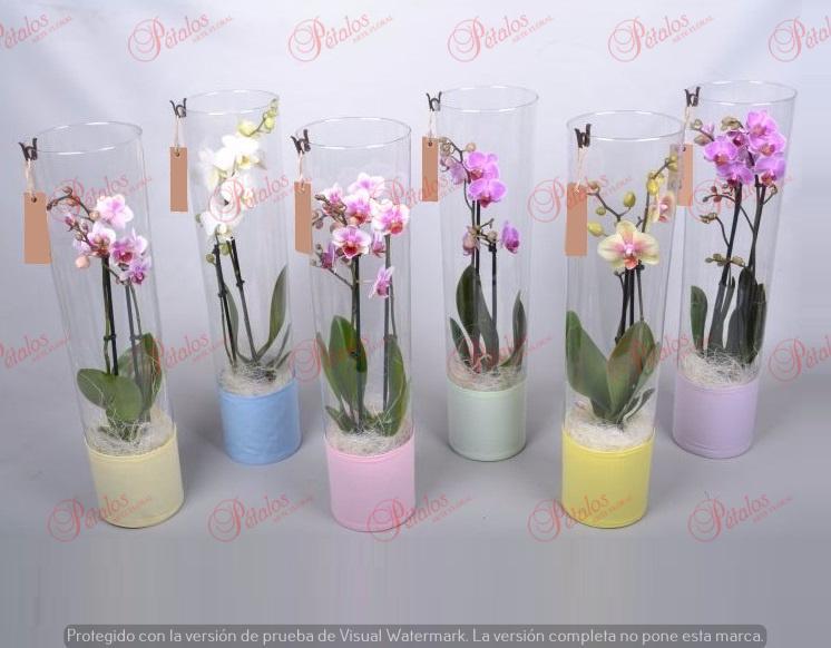Orquídea Sabrina