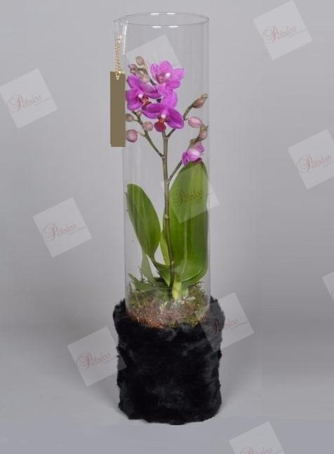 Orquídea Edurne