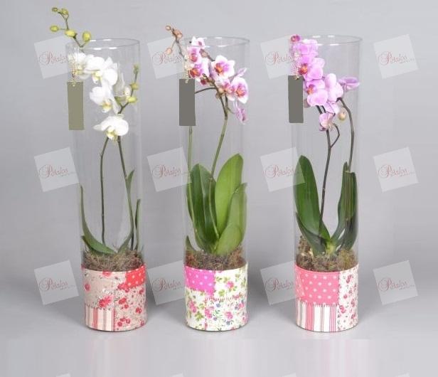Orquídea Leila