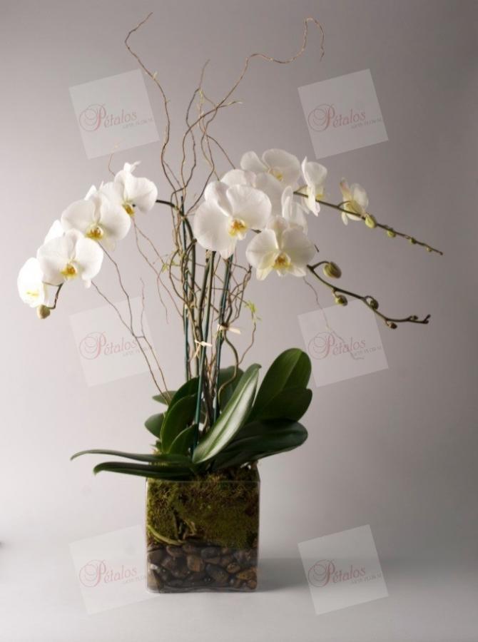 Orquídea Marilyn