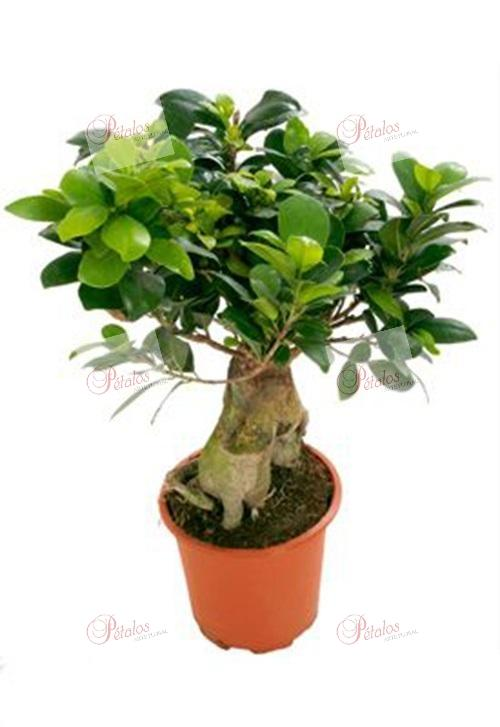 Bonsai Ficus Ginseng Isi