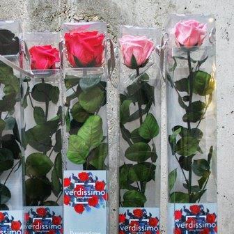 Rosas eternas Angus