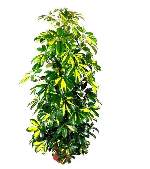 Schefflera capella Iris