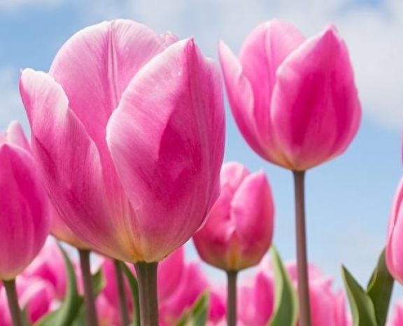 https://www.floristeriapetalos.com/pics/contenido/tulipsfieldspinkcolor5919561280x823-copia-576x465.jpg